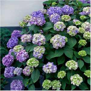 Endless Summer Outdoor Bloomstruck Hydrangea Flowering Bush 1 Gal